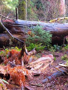 Hoh Rain Forest Olympic Peninsula NP, WA (9)