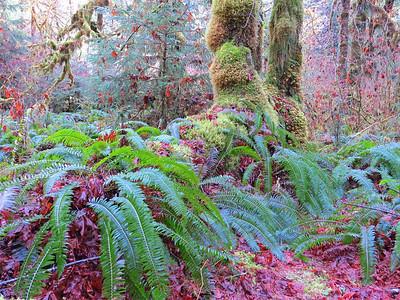 Hoh Rain Forest Olympic Peninsula NP, WA (6)