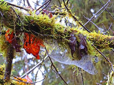 Hoh Rain Forest Olympic Peninsula NP, WA (5)