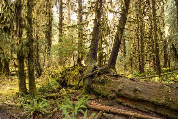 Hoh Rain Forest Olympic Peninsula NP, WA (7)