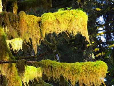 Hoh Rain Forest Olympic Peninsula NP, WA (10)