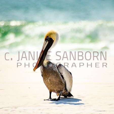 Pelicans07