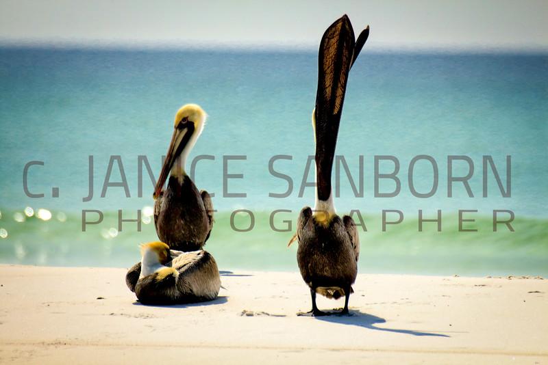 Pelicans14
