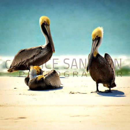 Pelicans18
