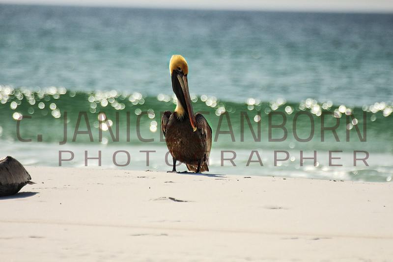 Pelicans09