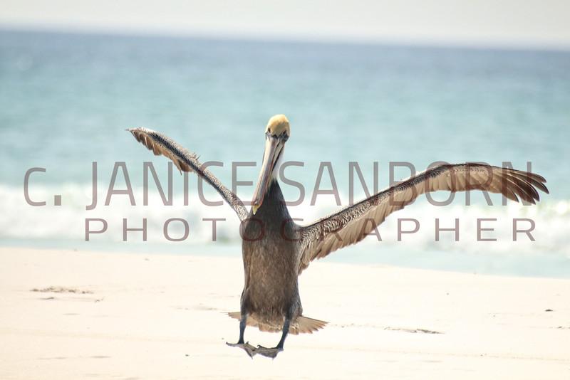 Pelicans10