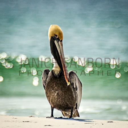 Pelicans20