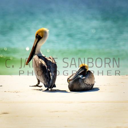 Pelicans23