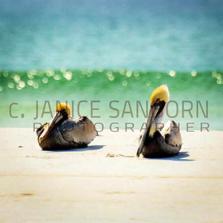 Pelicans16