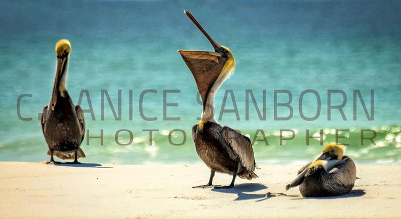 Pelicans12