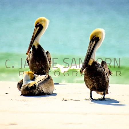 Pelicans17