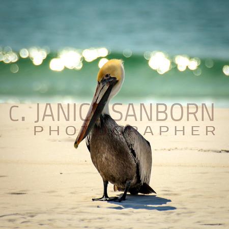 Pelicans21