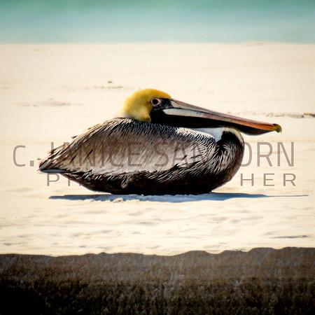 Pelicans22