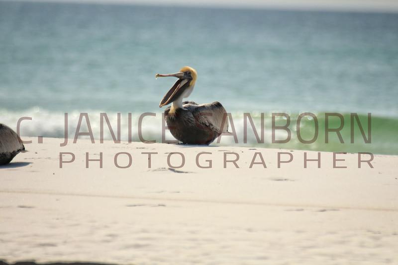 Pelicans02