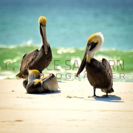 Pelicans19