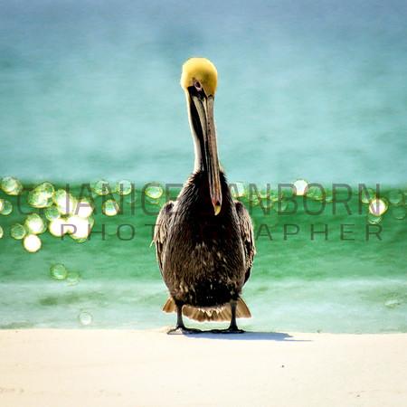 Pelicans11