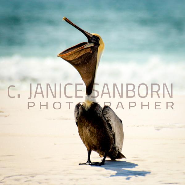 Pelicans01