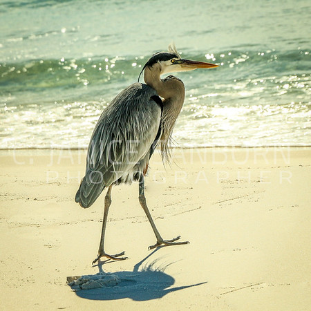 Great Blue Heron 019