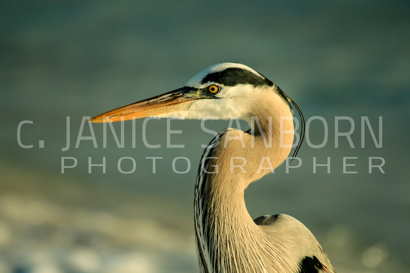 Great Blue Heron 089