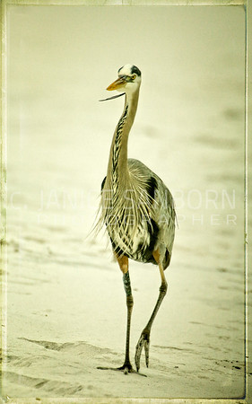 Great Blue Heron 007