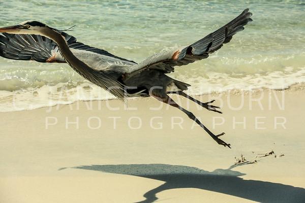 Great Blue Heron 084