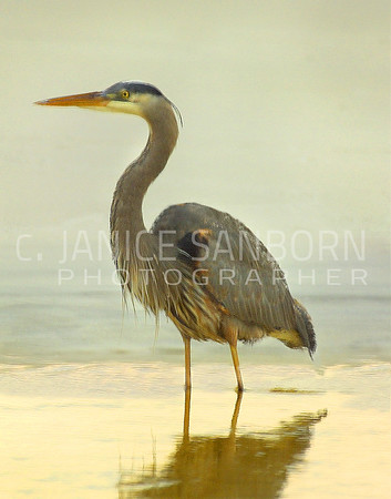 Great Blue Heron 018