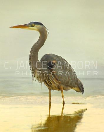 Great Blue Heron 018