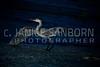 Great Blue Heron 195