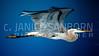 Great Blue Heron 180