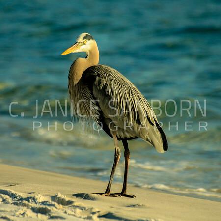 Great Blue Heron 076