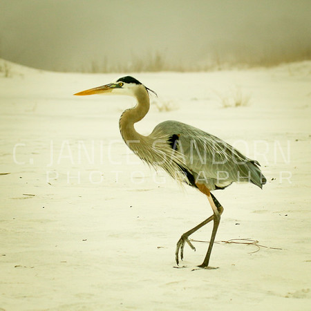 Great Blue Heron 016