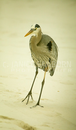 Great Blue Heron 008