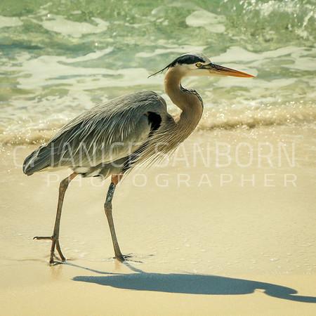 Great Blue Heron 023