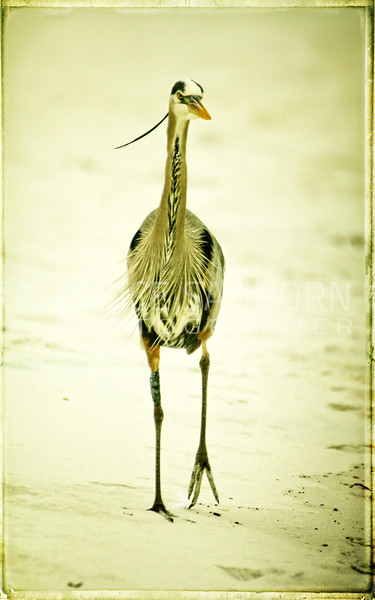 Great Blue Heron 006