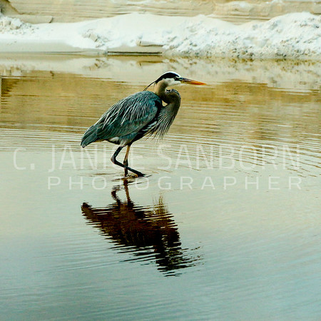 Great Blue Heron 010