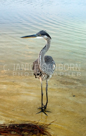 Great Blue Heron 020
