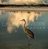 Great Blue Heron 129