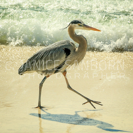 Great Blue Heron 022
