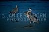Great Blue Heron 194