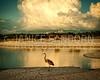 Great Blue Heron 159