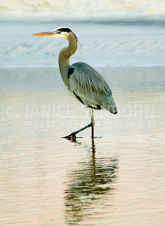 Great Blue Heron 021