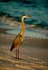 Great Blue Heron 139