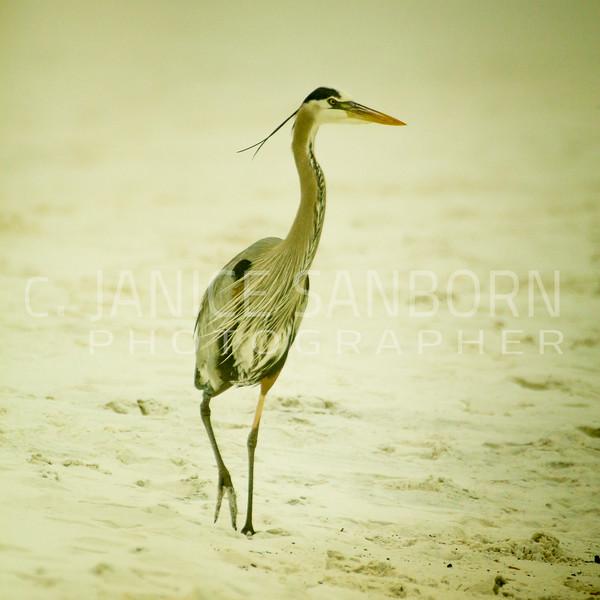 Great Blue Heron 005