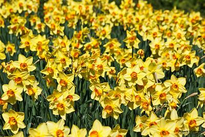 Daffodils - Narcisse