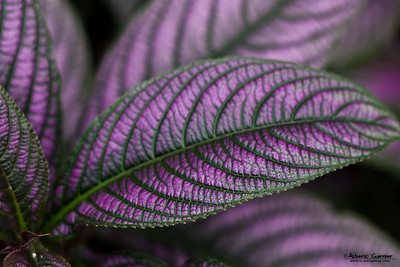 Purple Leaf (Parc de la tête d'or, Lyon, France)