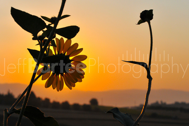 Sunrise and Sunflower together