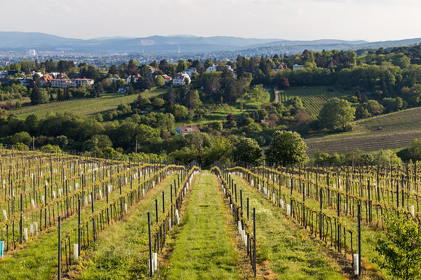 Wine Grape Plantations and Kahlenberg