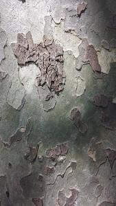 Eucalyptus Bark, Palme, Portugal