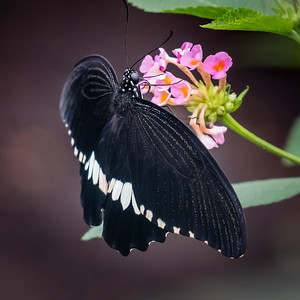 Black Butterfly with White Band