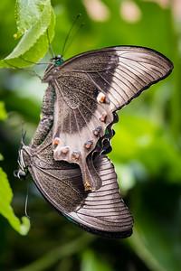 Swallowtail Butterflies